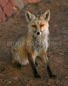 Young fox - 5/5/13
