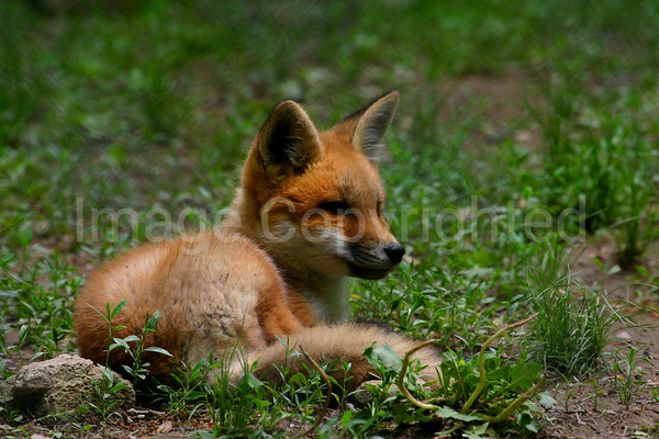 Young Fox Pup - 6/2/06