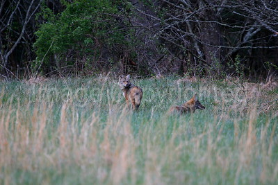 Coyotes at Cades Cove in Great Smokey Mountain National Park,  TN - 7/14/07