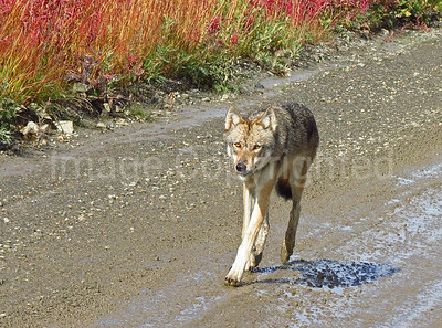 Wolf in Denali - 9/1/12