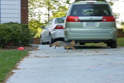 Fox in the Hood: I