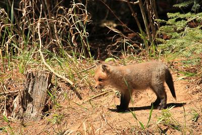 "FOX 7208  ""Young Fox"""