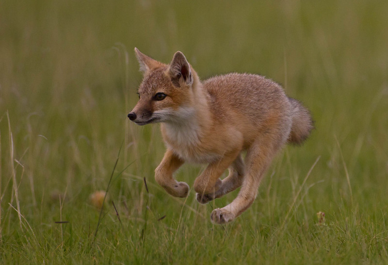 Swift Fox kit running