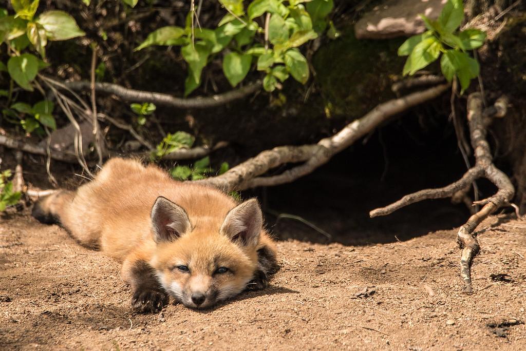 """FOX 8129<br /> <br /> """"Lazy Fox Kit"""""""