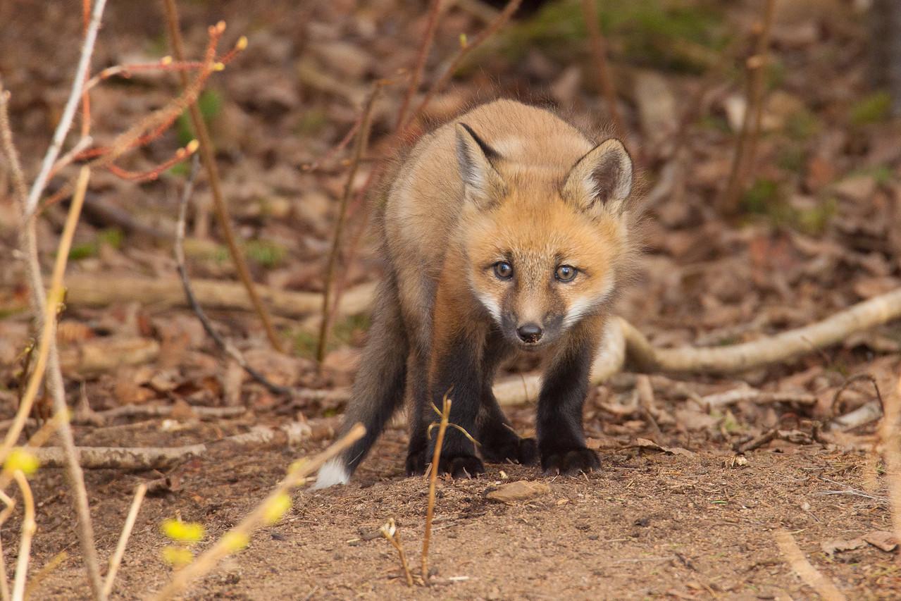 """FOX 5812<br /> <br /> """"Curious Kit"""""""