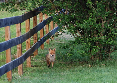 Fox along the fence line -- DSC_0048r