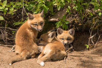 "FOX 8104  ""A lazy afternoon in the sun for the fox kits"""