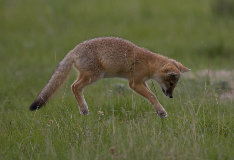 Swift Fox kit pouncing