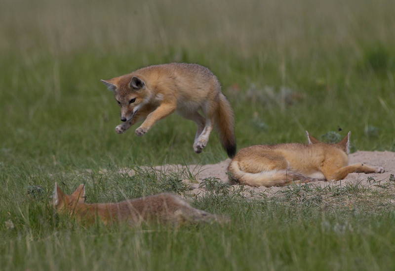 Swift fox kit airborne