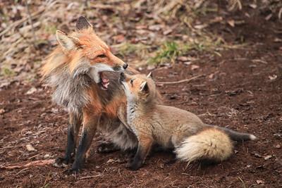 "FOX 2827  ""Fox Family"""