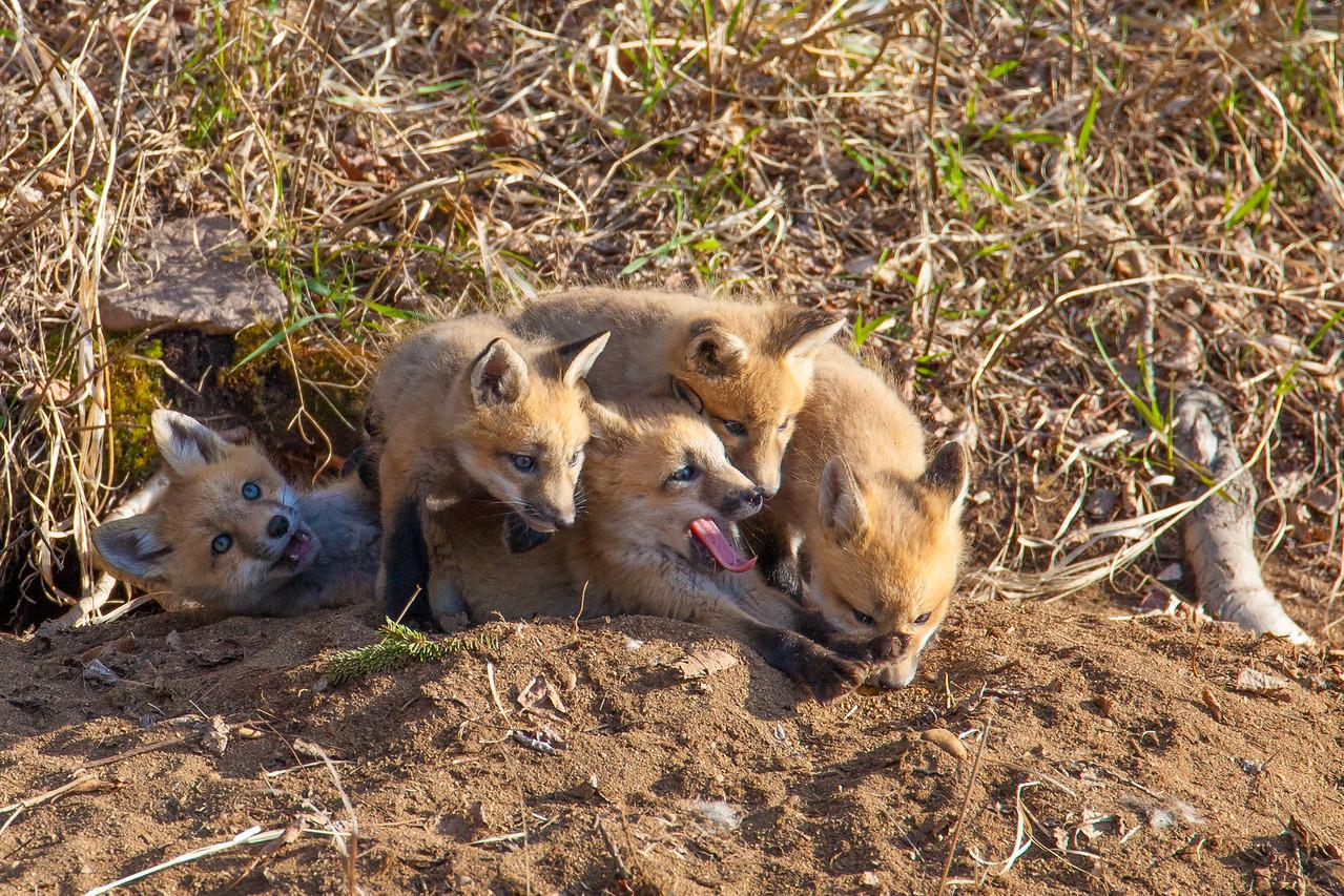 "FOX 5506<br /> <br /> ""Five sleepy fox kits"""