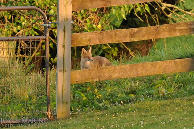 Young fox behind wooden fence -- DSC_7382