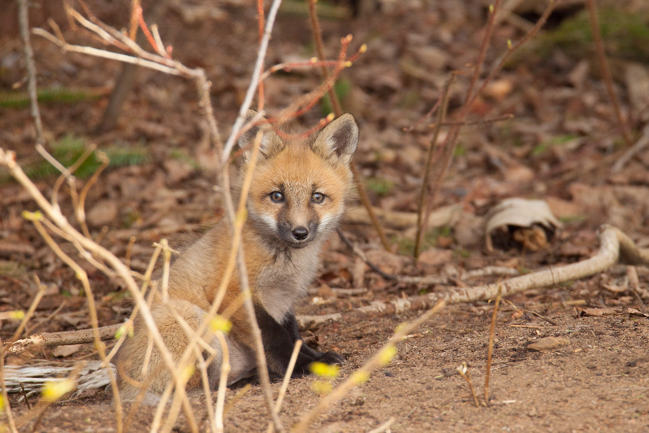 """FOX 5809<br /> <br /> """"Curious Kit"""""""