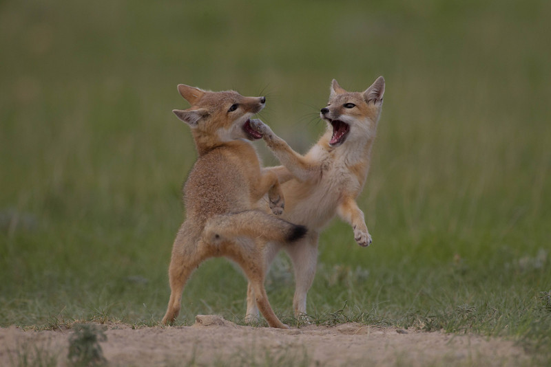 Swift fox kits at play