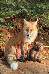 "FOX 7021-2  ""Fox Mother and Child"""