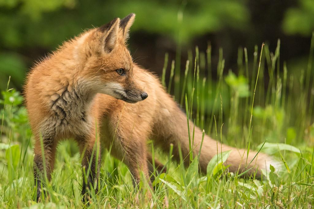 "FOX 6789<br /> <br /> ""Young fox strikes a pose""<br /> <br /> Grand Portage, MN"