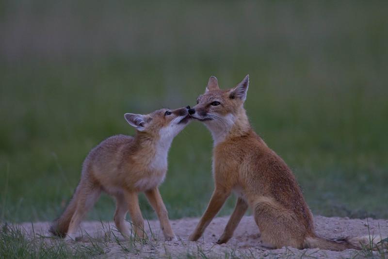 Swift fox kit with mom