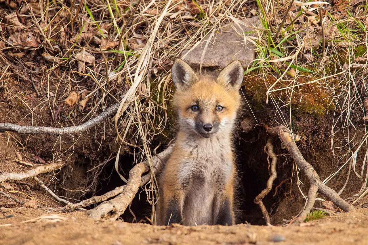 """FOX 5803<br /> <br /> """"Curious Kit"""""""