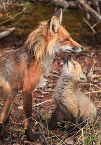 "FOX 2812  ""Fox Family"""