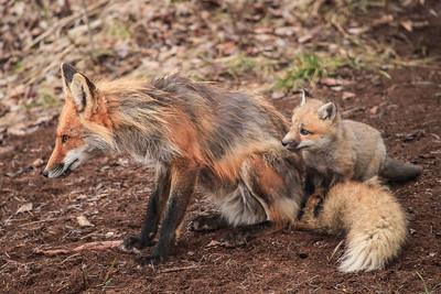 "FOX 2824  ""Fox Family"""