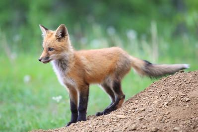 "FOX 1000  ""Young Fox"""