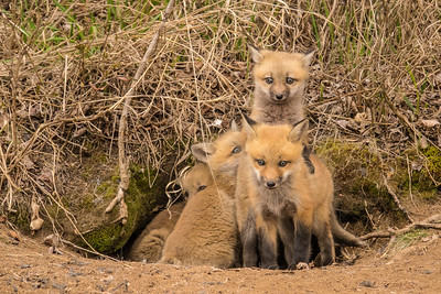 "FOX 04082  ""Four Fox Kits"""