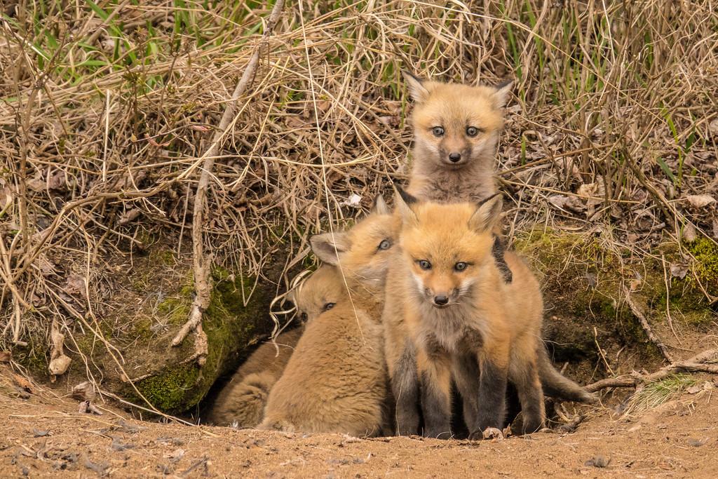 "FOX 04082<br /> <br /> ""Four Fox Kits"""