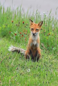"FOX 0989  ""Momma Fox"""