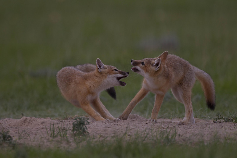 Swift fox kits challenging each other