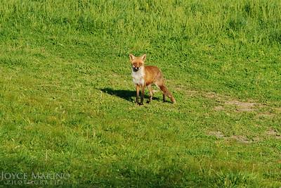 Fox -- DSC_0078r