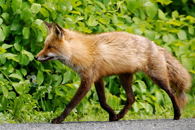 Fox walking along the roadside -- DSC_0019