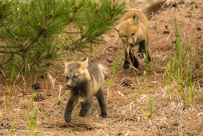 "FOX 04402  ""The race is on!""  Two young fox kits taking turns chasing each other around a pine tree :-)"