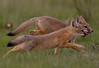 Swift fox kits running