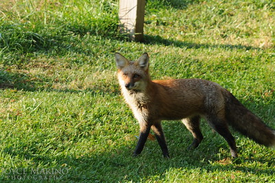Fox, strutting along -- DSC_9741