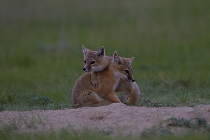 Swift fox kits resting after a game