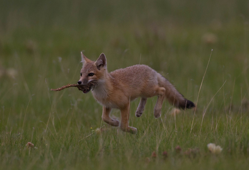 Swift fox kit with a treasure