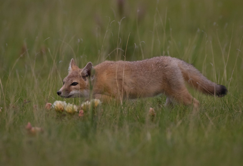 Swift fox kit pursuing