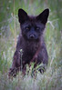 Red Fox Dark Morph