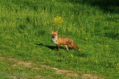 Fox -- DSC_0086r