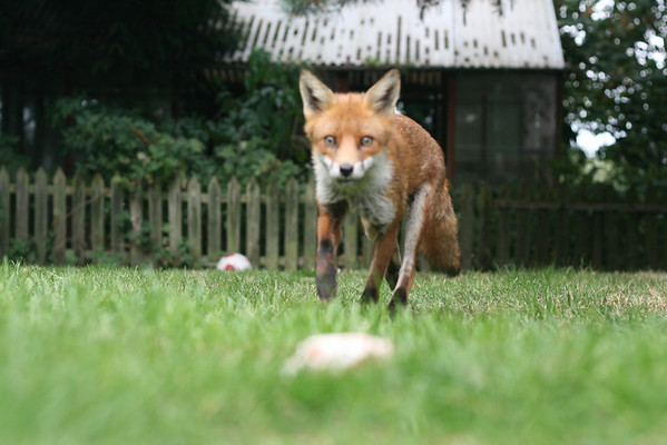 Foxes 2012
