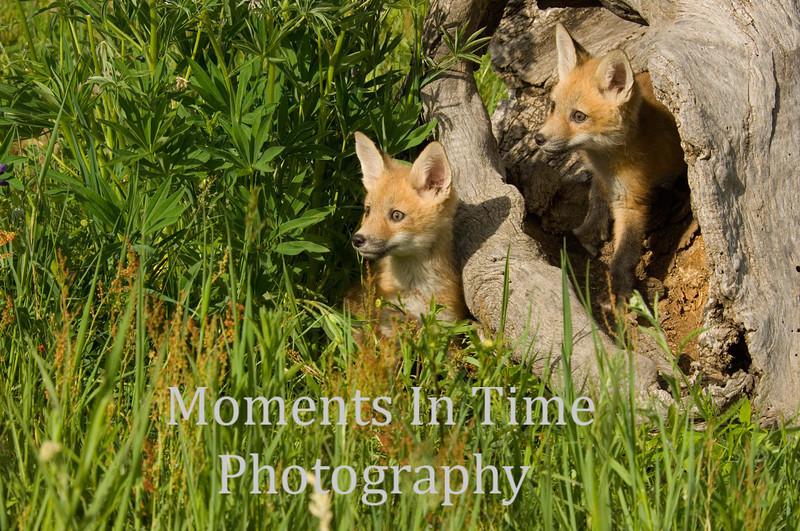 Fox pups in log