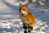Alert red fox