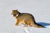 Gray fox in snow