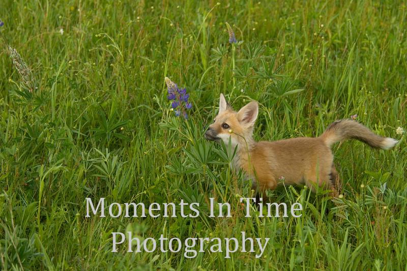 Red fox pup exploring