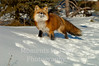 Fox red (vulpes vulpes)