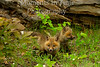 Fox red  (Vulpes fulva)