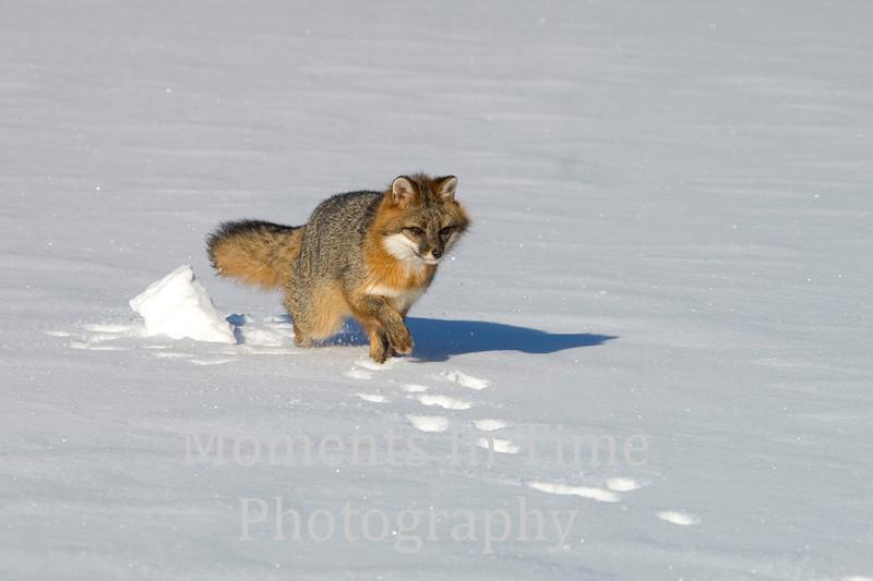 Gray fox running