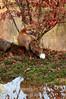 Autumn red fox v