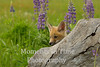 Fox with lupine