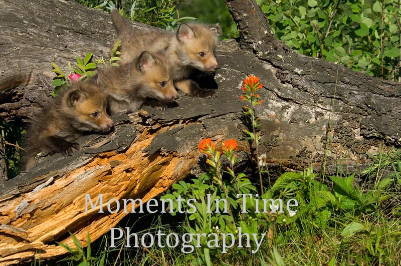 Fox pup trio